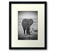 African Elephant (Loxodonta africana) Framed Print