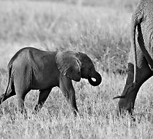 African Elephants (Loxodonta africana) by Samuel Ridge