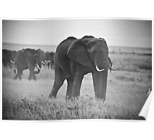 African Elephants (Loxodonta africana) Poster