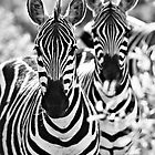 Zebra (Equus burchellii) by Samuel Ridge
