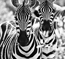 Zebra (Equus burchellii) by Samuel Ridge