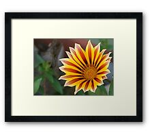 Close Up Tiger Gazania in Red, Gold and Green Framed Print
