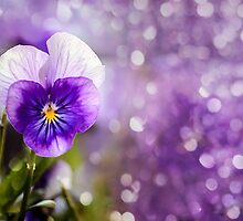 Purple Pansy by LudaNayvelt