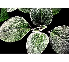 sage foliage.. Photographic Print