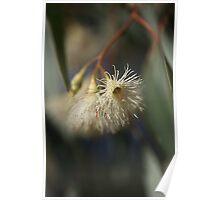 White Eucalyptus Poster