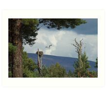 Loch Garten Ospreys approaching nest. Art Print