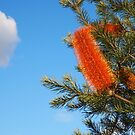 banksia under blue skies by jayview