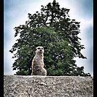 Meerkat - Simples by CHINOIMAGES