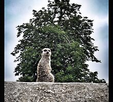 Meerkat - Simples by CHINOIMAGES