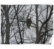 Bald Eagle's Eagle Eye Poster