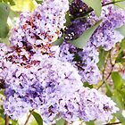 Beautiful Purple Lilacs in Spring by annoregni