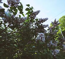 Lilacs in Spring  by annoregni