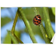 19 Spotted Ladybug Poster
