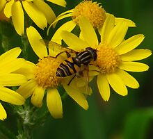 Hover Fly On Yellow by lorilee
