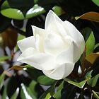 Magnolia Blossom by Bob Hardy