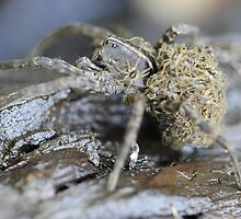 Wolf Spider and babies by Okeesworld