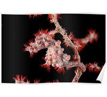Pygmy seahorse - Hippocampus bargibanti Poster