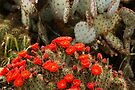 Cactus In Full Bloom by Larry Costales