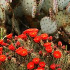 Cactus In Full Bloom by Larry3