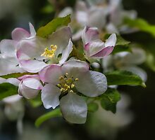 Macro White Blossom Tree by Pixie Copley LRPS