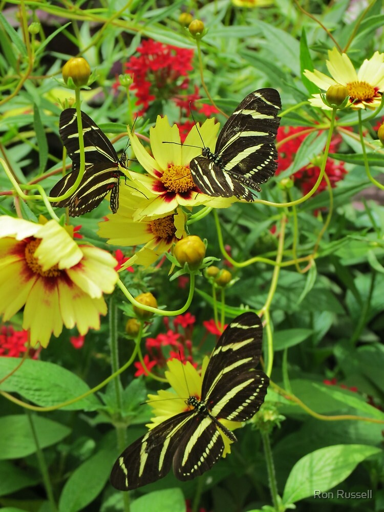 Zebra Butterfly Trio by Ron Russell