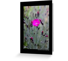 Dianthus Feuerhexe - Carnation Pink Fire Witch - Upper Brookville, New York Greeting Card