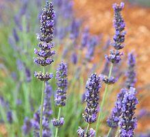 Lavender by Chantal Seigneurgens