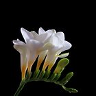 pretty in white by dale54
