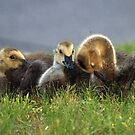 Little Goslings by Bine