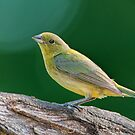 Female Painted Bunting  by Bonnie T.  Barry