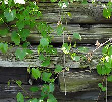 Aged wood wall with vines by jbaumga4