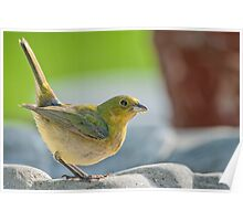 Female Painted Bunting in Alert Stance Poster