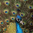 Proud as a Peacock by partridge