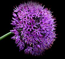 Purple Allium by karina5
