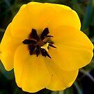 1505-yellow tulip by elvira1