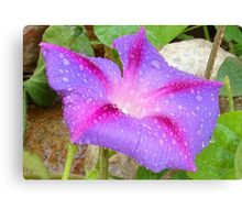 Mauve and Magenta Morning Glory with Water Drops Canvas Print