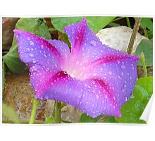Mauve and Magenta Morning Glory with Water Drops Poster