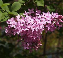 Lilacs to Love by Linda  Makiej