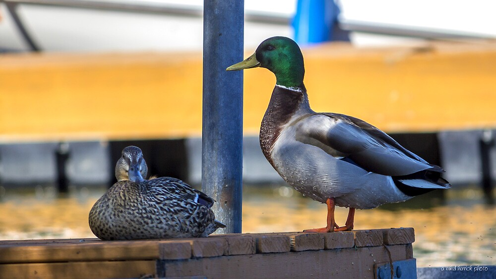 Ducks on a Dock by Mikell Herrick