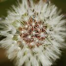 Dandelion by flashcompact