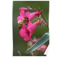 Pollinating The Spring Penstemon Poster