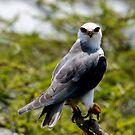 Black Shouldered Kite - Lake Nadutu Tanzania by john  Lenagan