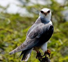 Black Shouldered Kite - Lake Nadutu Tanzania by john  Lenagan
