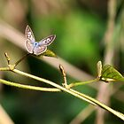 Plumbago Blue Butterfly by JLOPhotography