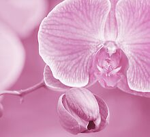 Orchid in Pastel Pink by Laurie Minor