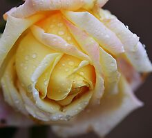 Yellow Rose raindrops by Mel  LEE
