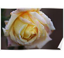 Yellow Rose raindrops Poster