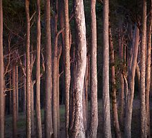 Morning Glow Spotted Gums by Brett Thompson