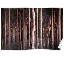 Morning Glow Spotted Gums Poster