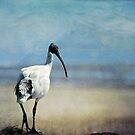 Ibis III by Clare Colins